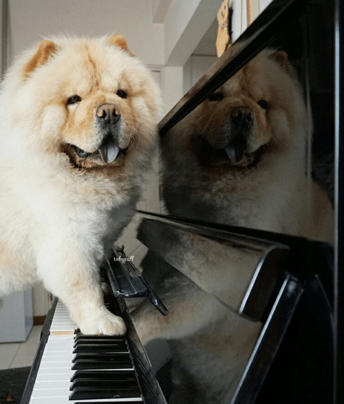 Tobypuff-Chow-Chow-4