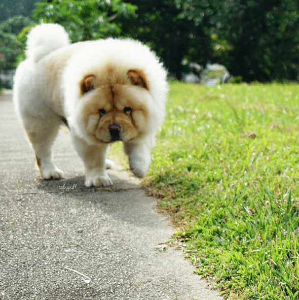Tobypuff-Chow-Chow-5