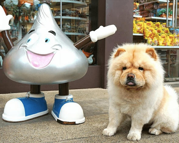 Tobypuff-Chow-Chow-7