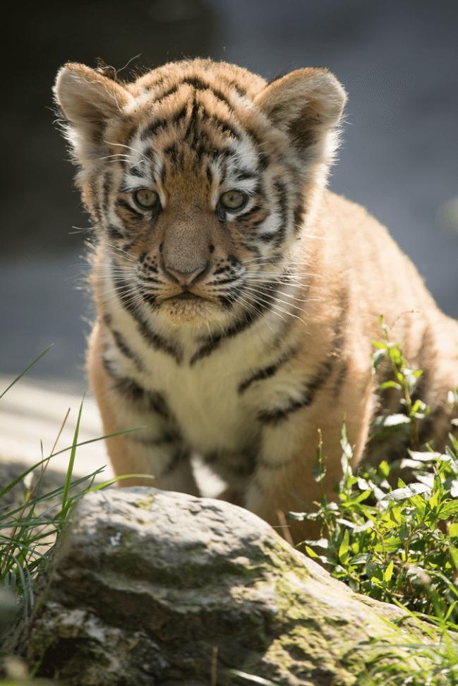 Temple-Tigre-Evacuation-Bebes-Tigres-6