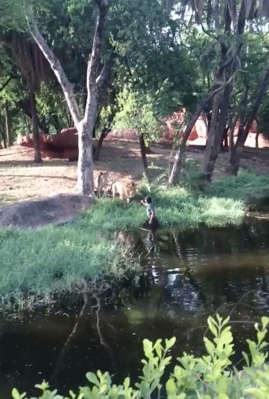 Zoo-Hyperabad-Inde-Lions-5