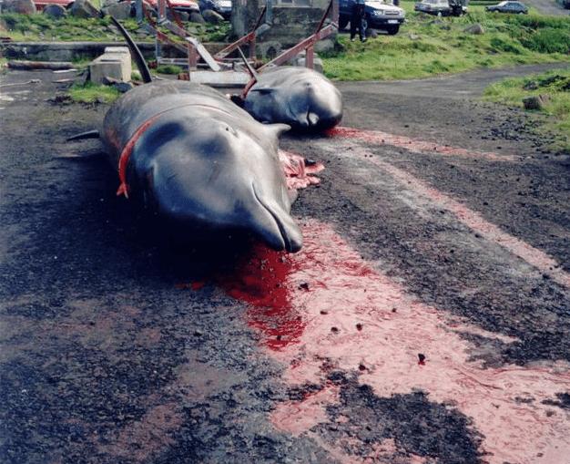 Massacre-Dauphins-Iles-Feroe-Danemark-1