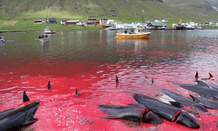 Massacre-Dauphins-Iles-Feroe-Danemark-2