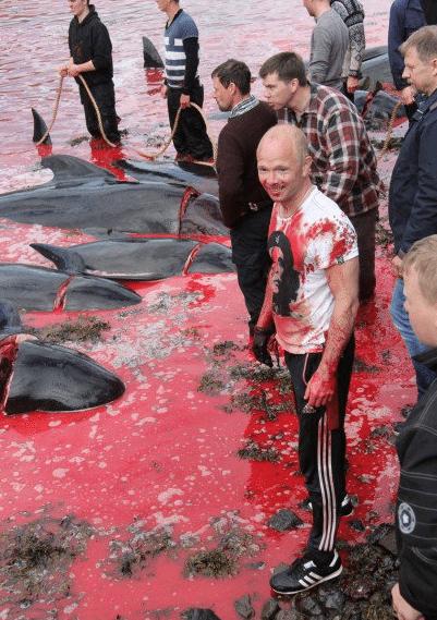 Massacre-Dauphins-Iles-Feroe-Danemark-3