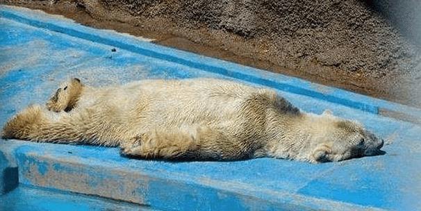 Mort-Arturo-Ours-Polaire-Zoo-Mendoza-Argentine-1