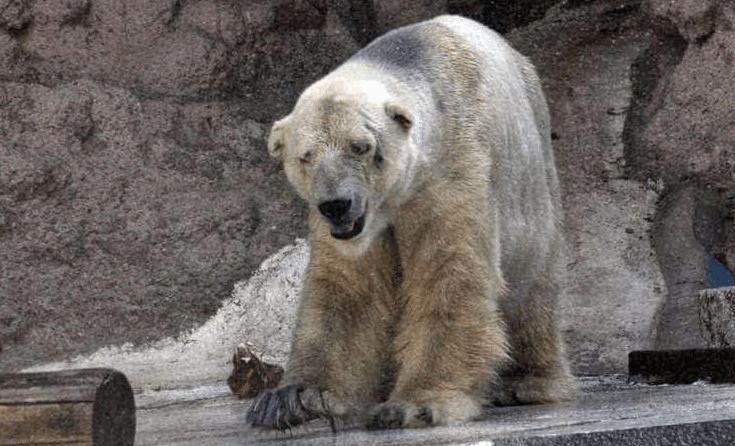 Mort-Arturo-Ours-Polaire-Zoo-Mendoza-Argentine-2