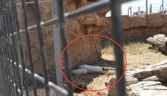 Mort-Arturo-Ours-Polaire-Zoo-Mendoza-Argentine-3