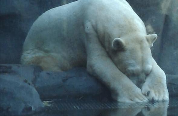 Mort-Arturo-Ours-Polaire-Zoo-Mendoza-Argentine-4