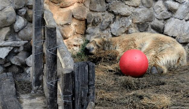 Mort-Arturo-Ours-Polaire-Zoo-Mendoza-Argentine-5
