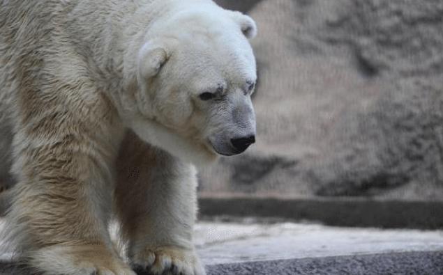 Mort-Arturo-Ours-Polaire-Zoo-Mendoza-Argentine-6