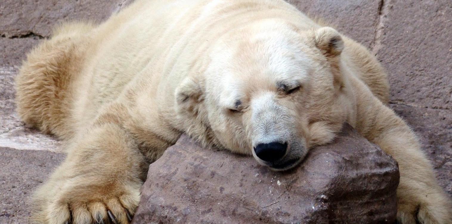 Mort-Arturo-Ours-Polaire-Zoo-Mendoza-Argentine-7