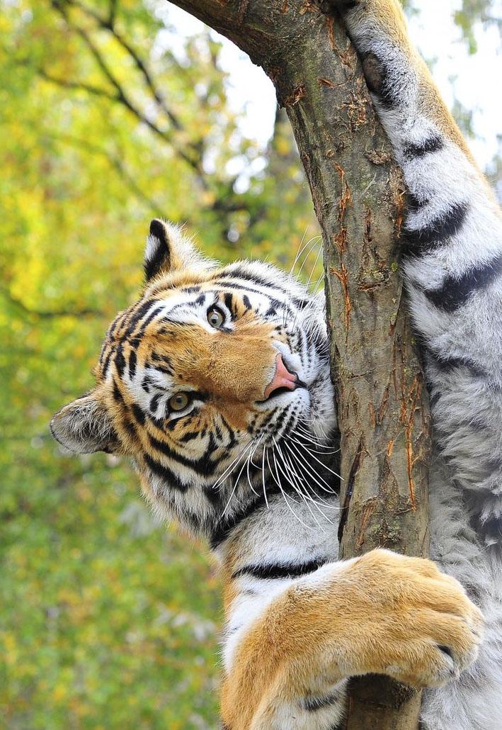 Reserve-Pekin-Attaque-Tigres-1