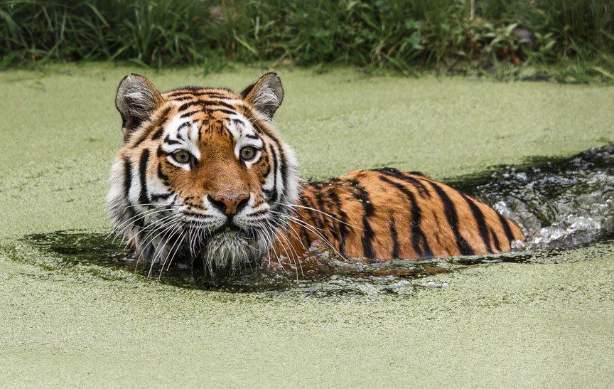 Reserve-Pekin-Attaque-Tigres-2