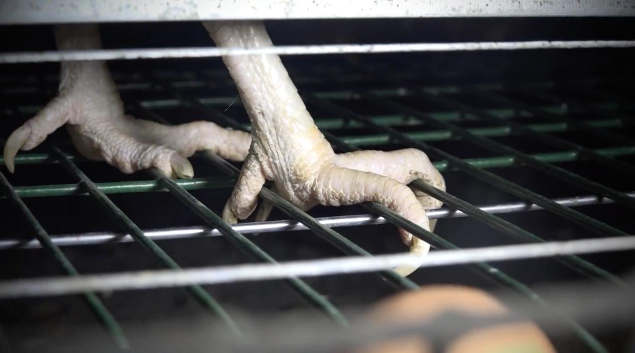 Oeufs-Poules-Cage-Interdiction-2025-2