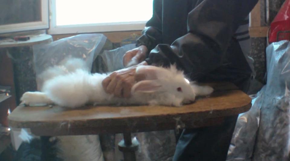 lapins-angora-epilation-torture-2