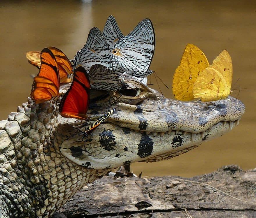 pam-caiman-princesse-disney-papillons-1
