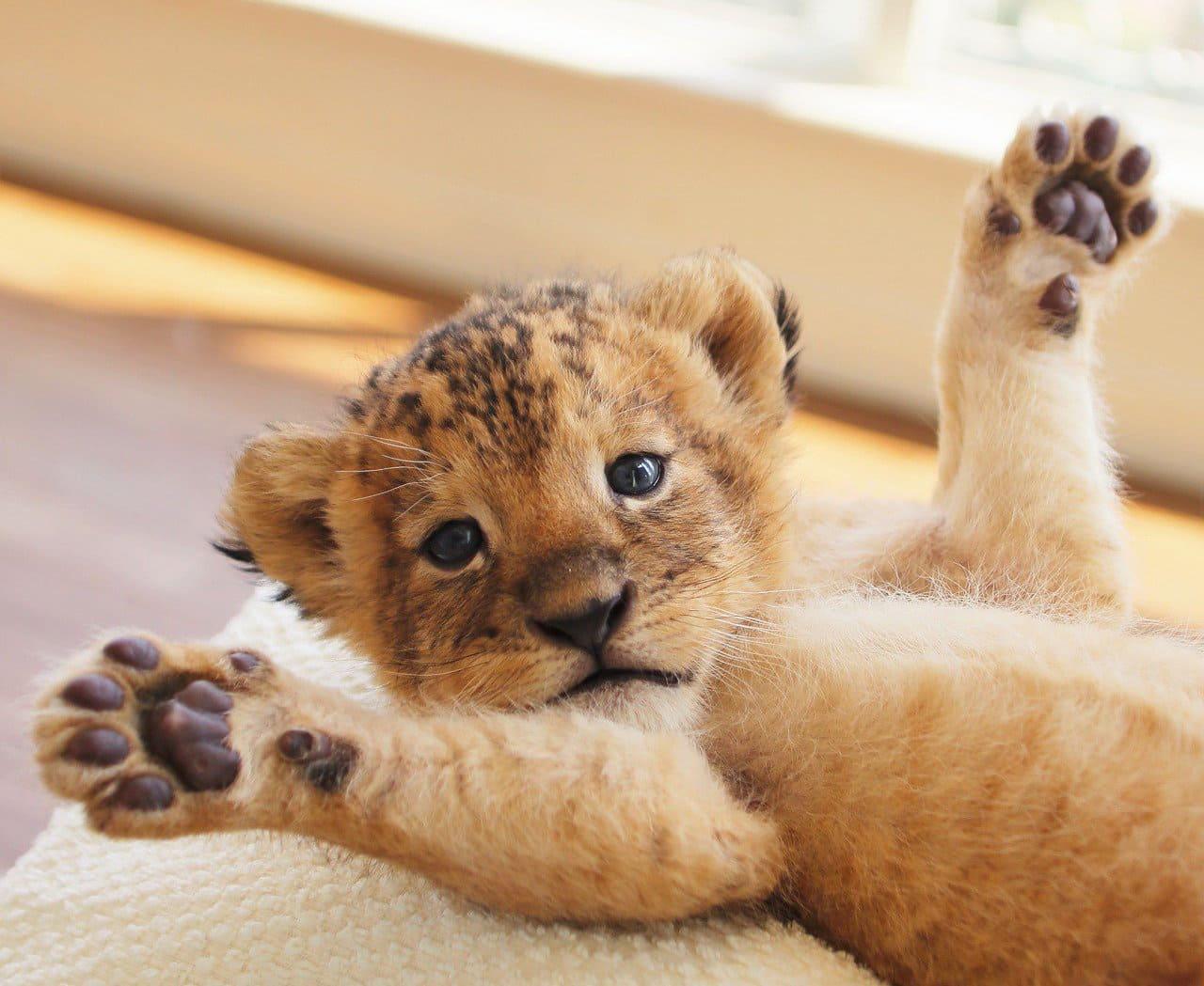 Quel est cet animal sauvage et dangereux de la faune que si il étais inofensif...aimeriez en avoir un comme animal de compagnie ? Toto-Kappa-Bebes-Lion-Tigre-Kyushu-5